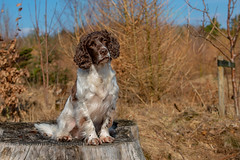 Just waiting (Flemming Andersen) Tags: zigzag spaniel outside pet nature dog outdoor cocker hund animal