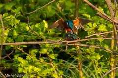 IJsvogel (michel.wessels1) Tags: ijsvogel natuur natuurfotografie