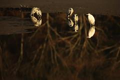 Reflections (Teruhide Tomori) Tags: nature bird wild kyoto japan japon hirosawanoike pond winter animal greyheron アオサギ 野鳥 広沢池 京都 冬 鳥 動物 野生 日本 greategret ダイサギ