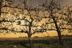 Blossom trees (roland_tempels) Tags: tienen belgium nature sunset sky sunlight trees supershot flandersfields blossomtree oplinter