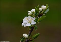 Die Baumblüte kommt langsam in Fahrt IV (J.Weyerhäuser) Tags: baum blüte ast tree blatt leaf flower nature macro
