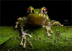 Porvenir Robber Frog (Ana O.D.) Tags: frog frogs amphibian animal animals wildlife nature pristimantis crucifer naturaleza fauna rana ranas anfibios cutín ecuador