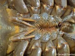 Horseshoe Crab (GeeC) Tags: animalia arthropoda cambodia horseshoecrabs kohkongprovince merostomata nature tatai