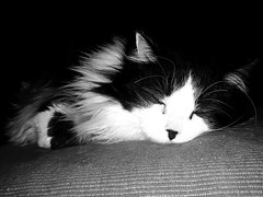 Salem (Josu Sein) Tags: portrait retrato cat gato love amor lovely adorable animalism animalismo veganism veganismo antispeciesism antiespecismo animalrights derechosanimales josusein