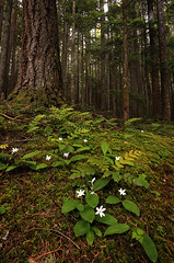 In The Forest (deanhebert) Tags: flowers forest wild wilderness nature landscape trees hiking outdoors summer chilliwack