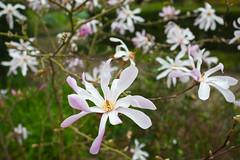 Sexbys Garden @SE15 (Adam Swaine) Tags: flora flowers plants naturelovers nature peckhamryepark england english londonparks london canon petals sexbys britain spring beautiful uk se15 southwark