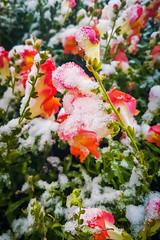 Snowed Flowers (Bracus Triticum) Tags: snowed flowers flora アルバータ州 alberta canada カナダ calgary カルガリー 9月 九月 長月 くがつ kugatsu nagatsuki longmonth 2018 平成30年 fall autumn september
