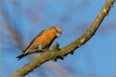 Common Crossbill  M ( Loxia curvirostra) (Smudge 9000) Tags: 2019 bird crossbill hempsted loxiacurvirostra male winter common cranbrook england unitedkingdom gb