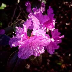 Azaleas in the morning sun (CAJC: in the PNW) Tags: azaleas samsunggalaxys9 snapseedfilters snapseedtools snapseed seattlewa mapleleafneighborhoodseattlewa springflowers