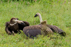 White-backed Vulture, Satara, Kruger National Park, Jan 2019 (roelofvdb) Tags: 123 2019 date january knp place satara southernafricanbirds vulture vulturewhitebacked whitebackedvulture year