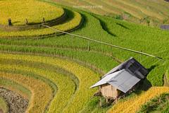 _J5K2271.0918.La Pán Tẩn.Mù Cang Chải.Yên Bái. (hoanglongphoto) Tags: asia asian vietnam northvietnam northwestvietnam landscape scenery vietnamlandscape vietnamscenery vietnamscene mucangchailandscape terraces terracedfields sunlight hill curve abstract house home people hillside sunnyweather canon canoneos1dsmarkiii tâybắc yênbái mùcangchải lapántẩn mâmxôilapántẩn phongcảnh ruộngbậcthang lúachín mùagặt morning sunnymorning nắng buổisáng nắngsớm ngọnđồi sườnđồi đườngcong trừutượng ngôinhà người phongcảnhcóngười seasonharvest mùcangchảimùalúachín mùcangchảimùagặt peopleinlandscape canonef70200mmf28lisiiusm happyplanet asiafavorites