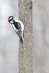 ''Le pic!'' Pic mineur-Downy woodpecker (pascaleforest) Tags: oiseau brid animal neige snow passion nikon nature wild wildlife faune québec canada winter hiver