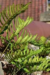 Polypody ... Polypodium vulgare (AndyorDij) Tags: polypody polypodiumvulgare andrewdejardin wildflowers england empingham rutland empinghamwildflowers uk unitedkingdom