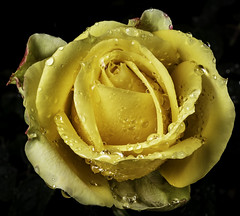 Yellow Rose Covered With Rain Drops (Bill Gracey 22 Million Views) Tags: rose saintpatrickrose rosa fleur flower flor offcameraflash sidelighting yongnuo yongnuorf603n garden yellow color colorful lastoliteezbox softbox filllight mirror reflectedlight macrolens nature naturalbeauty floralphotography darkbackground