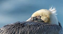 Brown Pelican, La Jolla, San Diego (viewsfromthespit) Tags: nikkor500mmf4 brownpelican lajolla nikond810 wildlife sandiego venice