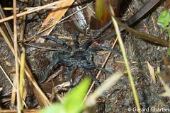 Wolf Spider (Lycosidae) (GeeC) Tags: animalia arachnida araneae araneomorphae arthropoda cambodia kohkongprovince lycosidae nature spiders tatai truespiders wolfspiders kh
