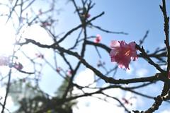 The Last Cherry Blossoms (D. Lada-something) Tags: blossoms sky d7500 nikon white pink flowering tree festival nago japan cherryblossom flower sakura okinawa flickrsbest