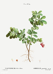 Lingonberry bush (Free Public Domain Illustrations by rawpixel) Tags: pierre redoute redouté airelleponctuee antique art arts artwork berry botanical botany branch cc0 creativecommons0 drawing element engraved engraving environment fineart graphite historic historical history idaea illustrated illustration ink leaf lingon lingonberry nature painting pencil pierrejoseph pierrejosephredouté plant publicdomain retro sketch sketching traitédesarbresetarbustes tropical vaccinium vacciniumvitisidaea vacciniumvitisidoea vintage vitis