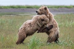 _HB30187 (Hilary Bralove) Tags: lakeclarknationalparkbrownbearsbearsalaskanikonwildlifegrizzlygrizzlybearbrownbearanimalswildlifephotographer alaksa brownbears grizzlybears bear bears grizzly brownbeargrizzly bearlake clarkwildlifealaska wildlifenikonlake clark national park