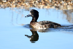 Tufted Duck-7D2_2573-001 (cherrytree54) Tags: canon sigma 7d 150600 rye harbour east sussex