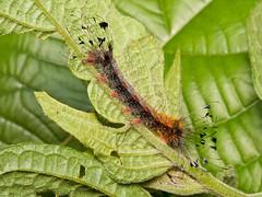 Caterpillar (Eerika Schulz) Tags: caterpillar schmetterlingsraupe raupe ecuador puyo eerika schulz