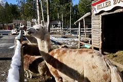 Miller Zoo (Mariko Ishikawa) Tags: canada quebec chaudièreappalaches frampton zoo animal alpaca
