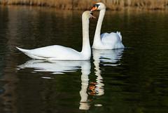 Unzertrennlich (KaAuenwasser) Tags: schwan schwäne vogel vögel tier tiere federn zusammen unzertrennlich paar pärchen wasser see spiegelung