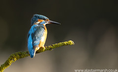 Kingfisher at Dawn (Alastair Marsh Photography) Tags: kingfisher kingfishers malekingfisher bird birds water waterbird animal animals animalsintheirlandscape britishwildlife britishanimals britishanimal britishbirds britishbird wildlife lake feathers feather fishing fish dawn sunlight sun sunshine sunrise