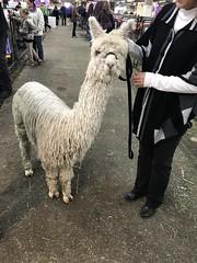 Hellooo (f l a m i n g o) Tags: show animal alpaca