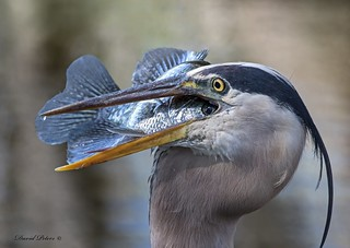 Great Blue Heron allowing the fish one very last look at the outside world