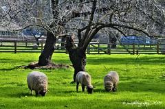FAMILY ... (DSC_9600) (jmaphotography) Tags: smileonsaturday sheep fencefriday