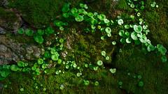 Simple beauty (lebre.jaime) Tags: portugal beira covilhã forestpark wall moss nikon d600 afsnikkor5018g digital fullframe affinity affinityphoto