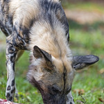 Wild dog eating meat, again thumbnail