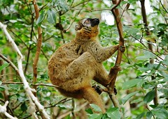 Common Brown Lemur (Eulemur fulvus)_ (Susan Roehl) Tags: madagascar2017 islandofmadagascar offtheeastcoastofafrica andasibemantadianationalpark commonbrownlemur eulemarfulvus primate animal mammal endangeredlist lemuridaefamily dietconsistsprimarilyoffruits youngleaves flowers invertebrates cicadas spiders millipedes bark sap soilandredclay varietyofforesttypes lowlandrainforests montanerainforests moistevergreenforests drydeciduousforests groupsof5to12 nodiscernibledominance activeduringday sueroehl photographictours naturalexposures panasonic lumixdmcgh4 100400mmlens handheld slightlycropped tree wood