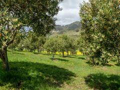 Olivares en Tenerife (inma F) Tags: tenerife anaga barrancosantos caminata comtf excursión paisaje olivares primavera lalaguna vega campo countryside