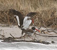 BL_033119d (Eric C. Reuter) Tags: birds birding nature wildlife nj barnegatlight oystercatchers march 2019 033119
