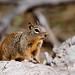 Squirrel - Zion National Park