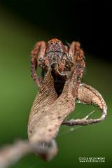 Lynx spider (Hamataliwa sp.) - DSC_3726 (nickybay) Tags: singapore admiraltypark macro hamataliwa oxyopidae lynx spider