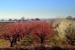 Springtime (annalisabianchetti) Tags: springtime spring primavera flowers fiori trees alberi rural rurale paesaggio landscape emiliaromagna italy