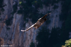 Grifone _018 (Rolando CRINITI) Tags: grifone uccelli uccello birds ornitologia avifauna rapaci goledelverdon francia natura