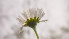 Daisy - 6663 (ΨᗩSᗰIᘉᗴ HᗴᘉS +56 000 000 thx) Tags: macro flower flora light daisy belgium europa aaa namuroise look photo friends be yasminehens interest eu fr party greatphotographers lanamuroise flickering