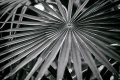 Palmarum (Aspenlaub (blattboldt)) Tags: coccothrinaxmiraguama palmsunday lent zeiss sony carlzeiss ilce7rm3 alpha7riii manualfocus manualiris manualexposure specialthankstochristophecasenaveandhisteamfromzeissfortheirpersonalinvolvementinthedevelopmentoftheloxialensline ⚶ emount manualwhitebalance blackwhite blancetnoir loxia2485 loxia2485sonnar 85mm 51695547 sonnar schwarzweis botany plant palm monochrome legitō physiognomy shallowdof rhapsodic