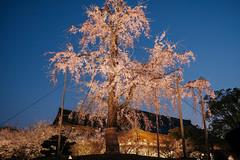K4091362 (ODHuang) Tags: kyoto 京都 日本 japan 東寺 toji 夜櫻