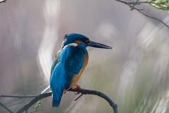 Alcedo atthis (vvpopov) Tags: alcedoatthis bird birdwatching birding kingfisher animal animalplanet animalportrait