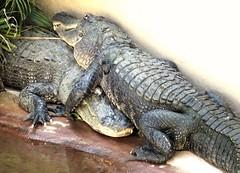 Alligator Love Florida. (FloridaGuy1055) Tags: alligator fortlauderdale alligatorevergladesfloridaalligator florida wildlife naturelovers naturephotography wildlifenatgeonature animals crocodile crocodrillo agua rio usa outdoors