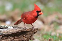 Northern Cardinal (mnolen2) Tags: male northern cardinal bird nature spring