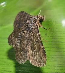 rocky chocky moth Hypomecis sp Ennominae Geometridae Airlie Beach Rainforest P1020780 (Steve & Alison1) Tags: rocky chocky moth hypomecis sp ennominae geometridae airlie beach rainforest