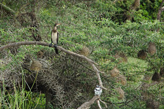 Perched (pbr42) Tags: africa uganda queenelizabethnationalpark nationalpark hdr water lake crater bird h2o kazinga kazingachannel animal nature tree branch