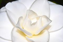 warm white (donjuanmon) Tags: cliches clichesaturday closeup macro hcs camellia white warm petals donjuanmon nikon nature