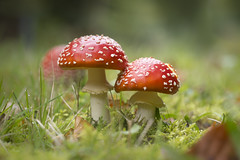 Red Mushrooms (Martin Bärtges) Tags: pilze colorful farbenfroh red moss nikon d750 nikonfotografie nikonphotography mushrooms drausen outside outdoor nature natur naturephotography naturfotografie macro makro makrofotografie macrophotography